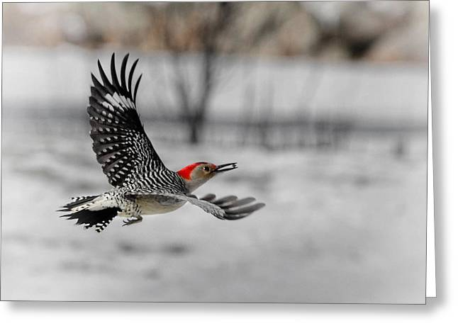Birds In Flight Greeting Cards - Red Bellied Woodpecker Greeting Card by Bill  Wakeley
