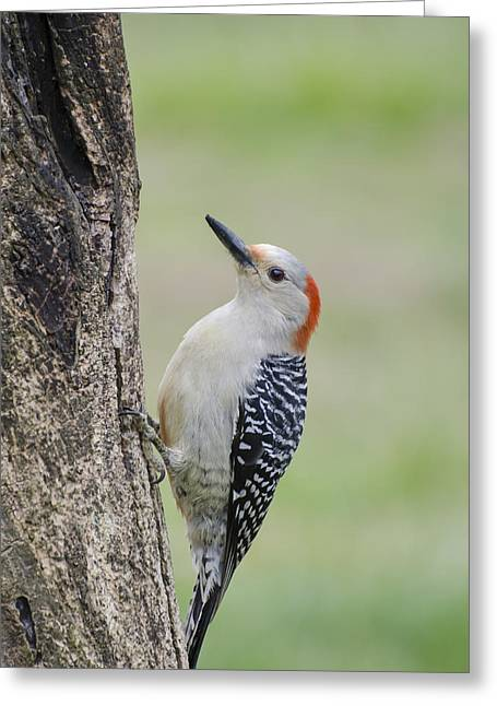 Woodpeckers Greeting Cards - Red Bellied Woodpecker Greeting Card by Heather Applegate