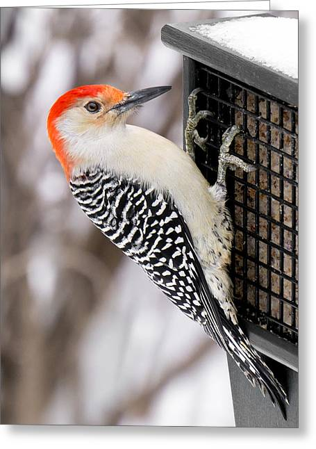Birdwatching Greeting Cards - Red-bellied Woodpecker Greeting Card by Jim Hughes