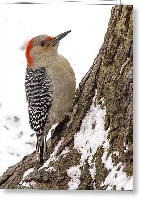 Zebra Picture Prints Greeting Cards - Red-bellied Woodpecker Greeting Card by Michael J Samuels