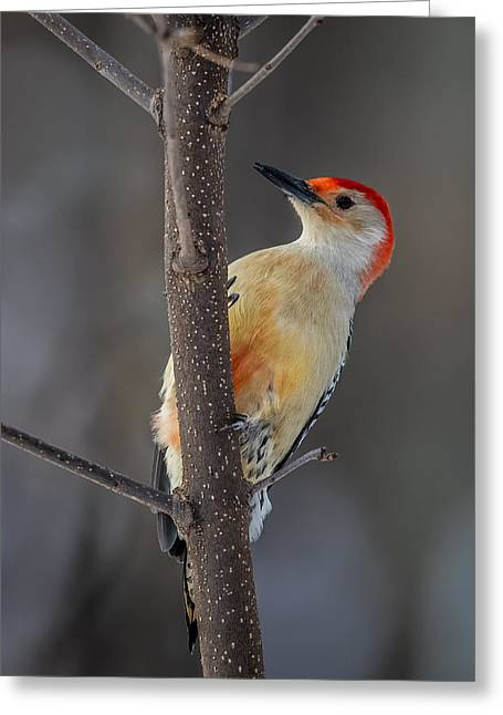 One-of-a-kind Greeting Cards - Red Bellied Woodpecker Greeting Card by Paul Freidlund