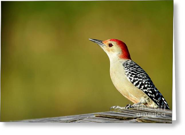 Green Cay Greeting Cards - Red Bellied Woodpecker Greeting Card by Sabrina L Ryan