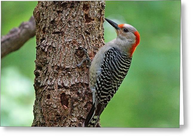Red Bellied Woodpecker Greeting Card by Sandy Keeton