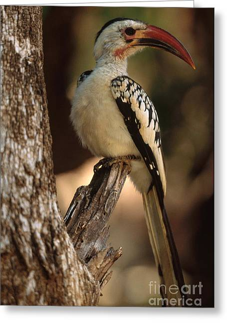 Bird On Tree Greeting Cards - Red-billed Hornbill Greeting Card by Art Wolfe