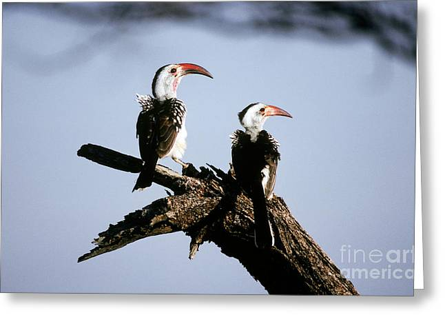 Red-billed Hornbills Greeting Card by Art Wolfe