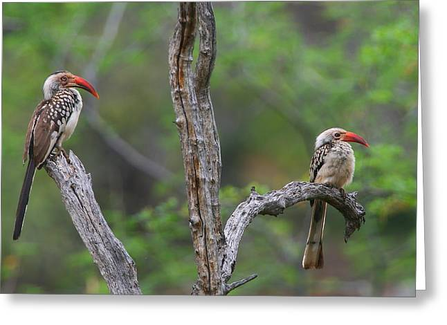 Red-billed Hornbills Greeting Card by Bruce J Robinson