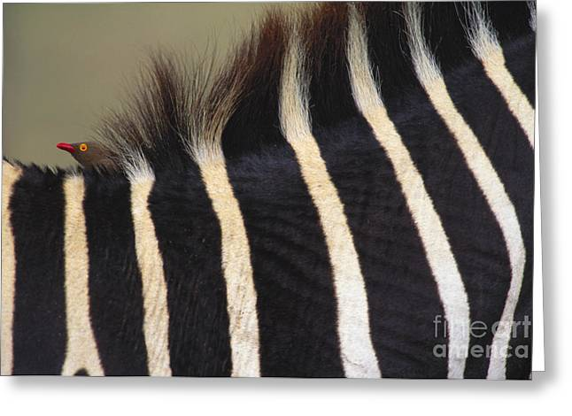 Fur Stripes Greeting Cards - Red-billed Oxpecker On Grants Zebra Greeting Card by Art Wolfe
