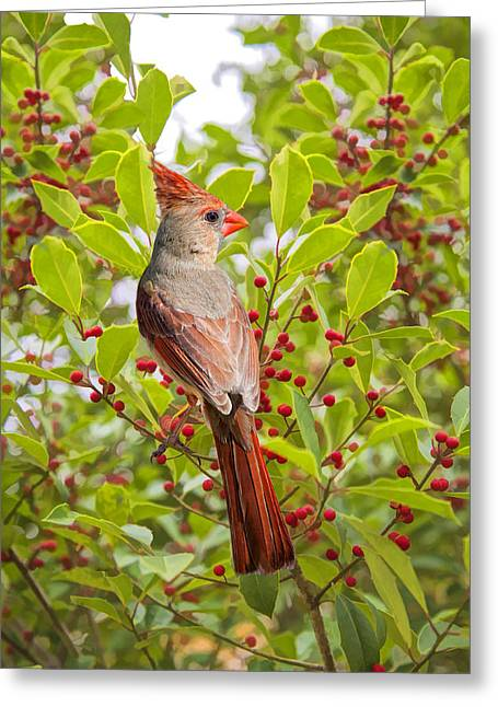 Red And Green Photographs Greeting Cards - Red Bird Amidst Red Berries Greeting Card by Bonnie Barry