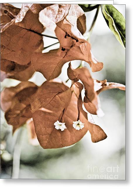 Nyctaginaceae Greeting Cards - Red Bougainvillea Greeting Card by Design Windmill