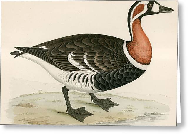 Hunting Bird Greeting Cards - Red Breasted Goose Greeting Card by Beverley R. Morris