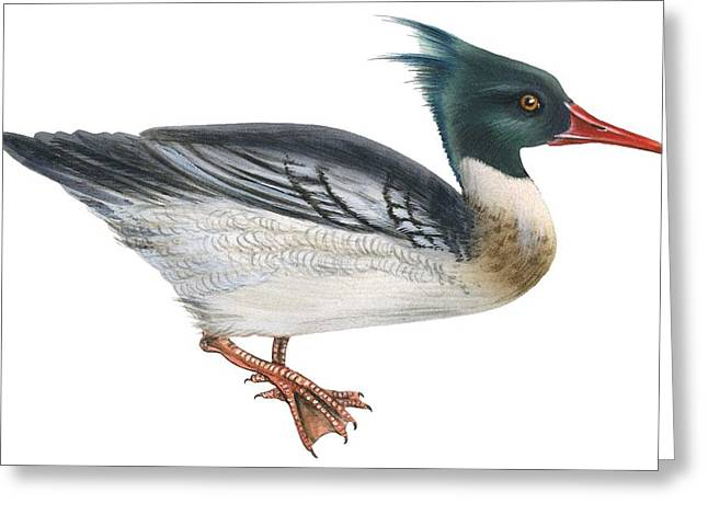 White Background Drawings Greeting Cards - Red-breasted merganser Greeting Card by Anonymous