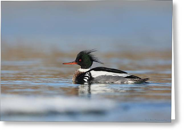 Red Breasted Merganser  Greeting Card by Daniel Behm