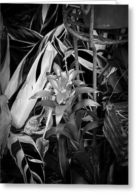 Bromeliad Neoregelia Greeting Cards - Red Bromeliad and Tricolor Gingers BW Greeting Card by Rich Franco