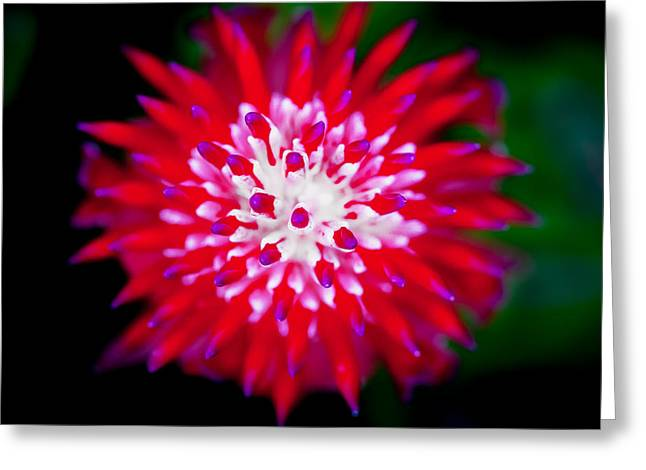 Cultivation Greeting Cards - Red Bromeliad Painted Greeting Card by Rich Franco