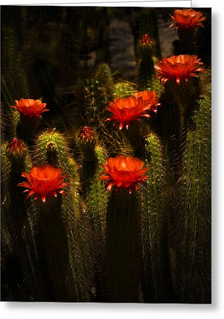 Red Cactus Flowers II  Greeting Card by Saija  Lehtonen