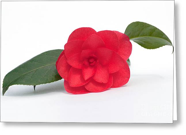 Terri Waters Greeting Cards - Red Camellia Greeting Card by Terri  Waters
