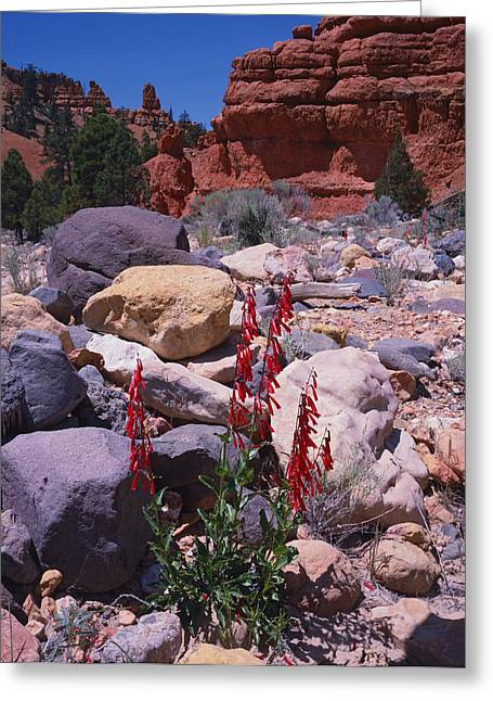 Red Canyon Penstemon Greeting Card by Tom Daniel