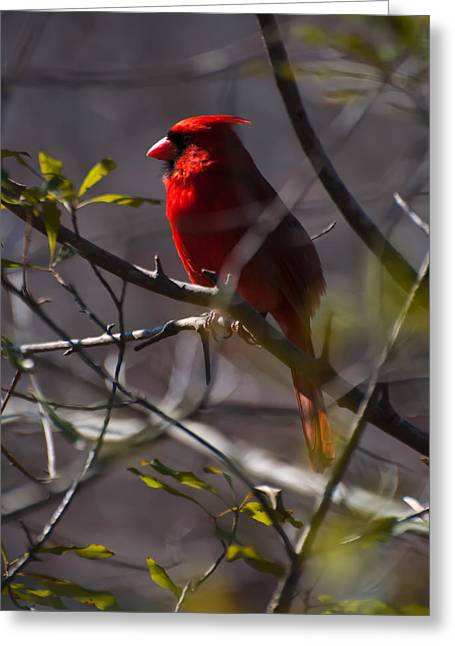 Photos Of Birds Greeting Cards - Red cardinal in a tree 1 Greeting Card by Chris Flees