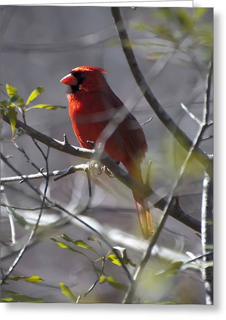 Cardinalis Greeting Cards - Red Cardinal In A Tree 2 Greeting Card by Chris Flees