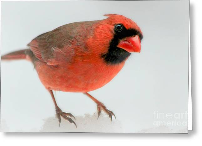 Cardinals In Snow Greeting Cards - Red Cardinal in snow Greeting Card by Heidi Piccerelli