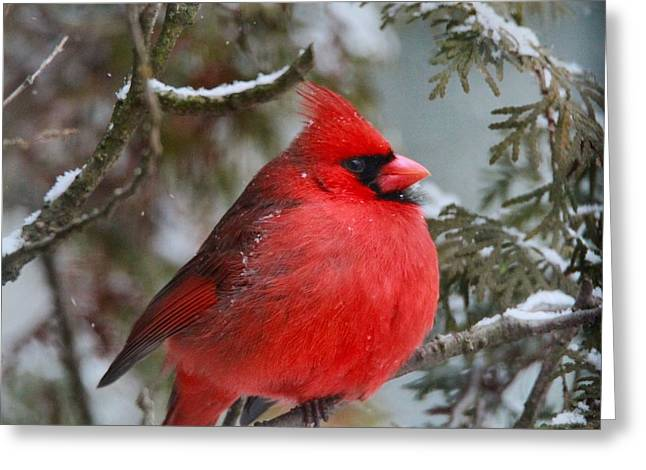 Red Cardinals In Snow Greeting Cards - Red Cardinal In Winter Greeting Card by Dan Sproul