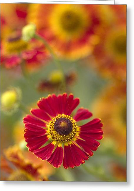Flower Center Greeting Cards - Red Centered Greeting Card by Rebecca Cozart