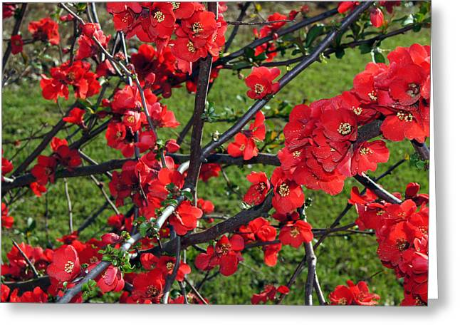 Graphics Framed Prints Greeting Cards - Red Cherry  Greeting Card by Debra Crank