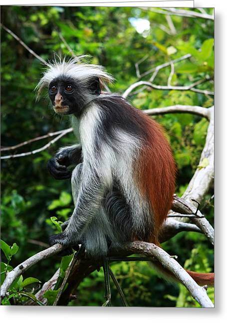 Mangrove Forest Greeting Cards - Red Colobus Monkey Greeting Card by Aidan Moran