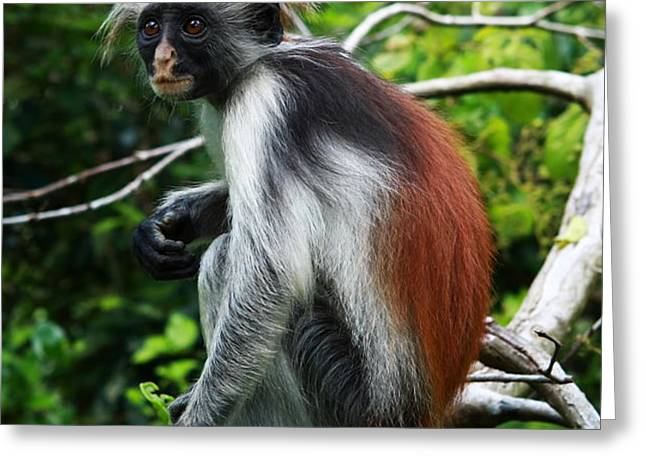 Red Colobus Monkey Greeting Card by Aidan Moran