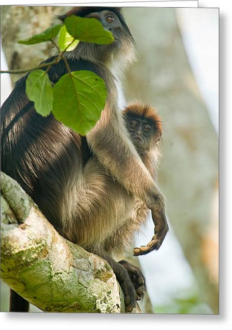 Female Animal Greeting Cards - Red Colobus Monkey With Its Young One Greeting Card by Panoramic Images