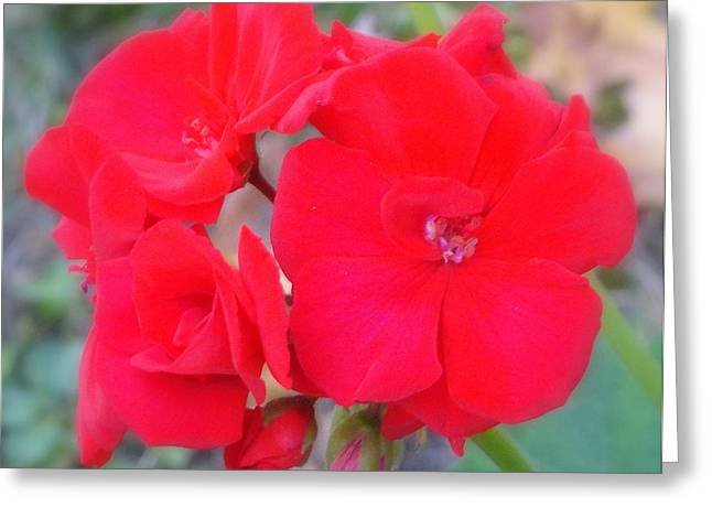 Red Geraniums Greeting Cards - Red Greeting Card by Constance S Jackson