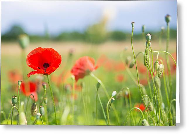 Red Corn Poppy On A Beautiful Green Summer Meadow Greeting Card by Matthias Hauser