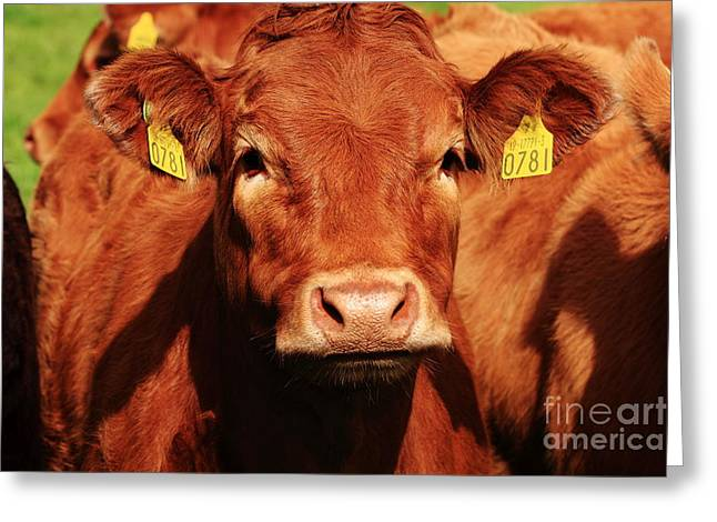 Ear Tags Greeting Cards - Red Cow Greeting Card by Aidan Moran