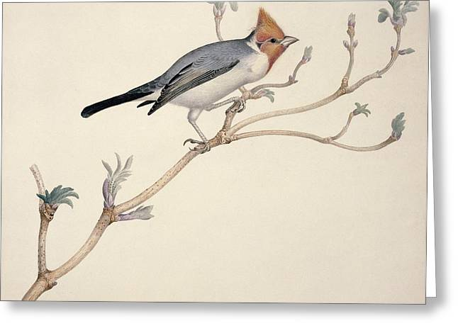 Red Crest Greeting Cards - Red-crested cardinal, 19th century Greeting Card by Science Photo Library