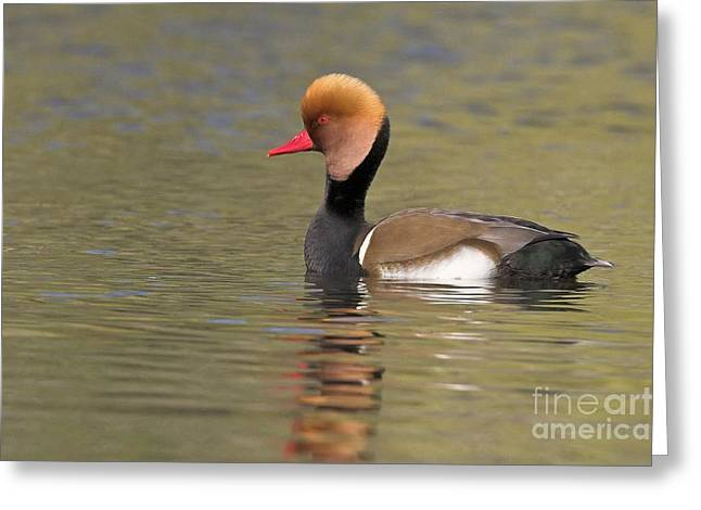 Red Crest Greeting Cards - Red-crested Pochard Greeting Card by Bildagentur-online