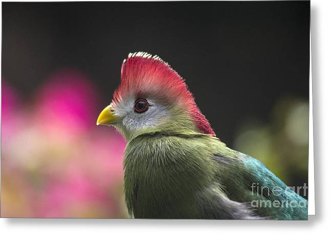 Red Crest Greeting Cards - Red Crested Turaco Greeting Card by Mark Newman