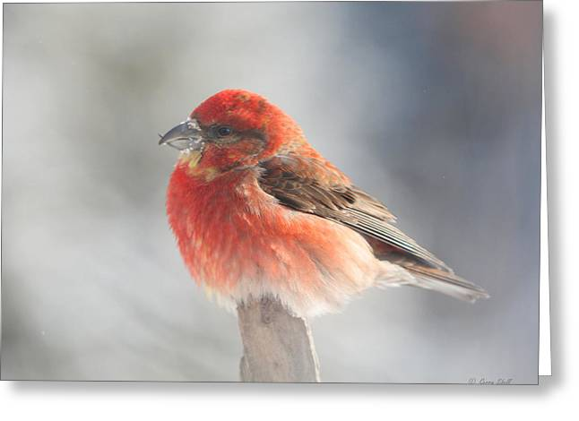 Red Crossbill Greeting Card by Gerry Sibell