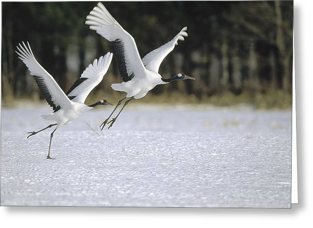 Wildlife Celebration Greeting Cards - Red-crowned Crane Pair Courting Hokkaido Greeting Card by Konrad Wothe