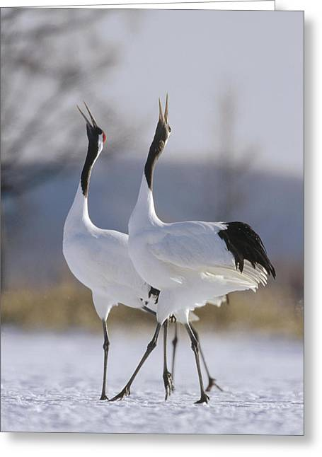 Wildlife Celebration Greeting Cards - Red-crowned Crane Pair Courtsing Greeting Card by Konrad Wothe