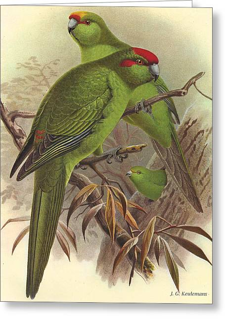 J.g. Greeting Cards - Red Crowned Yellow Crowned and Orange Fronted Parrakeets Greeting Card by J G Keulemans