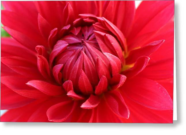 Dinnerplate Dahlias Greeting Cards - Red Dahlia Dinner plate Greeting Card by Frances Habig