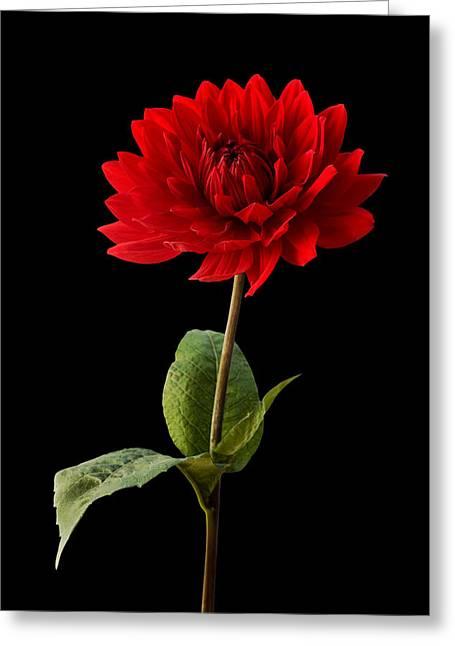 Natalie Kinnear Greeting Cards - Red Dahlia Flower Against Black Background Greeting Card by Natalie Kinnear