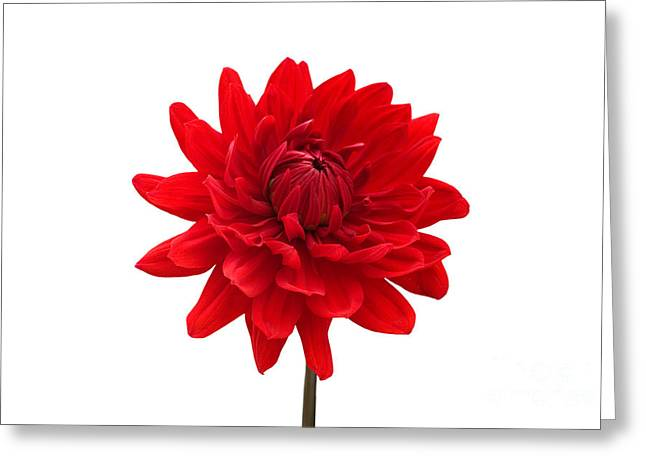 Lounge Digital Art Greeting Cards - Red Dahlia Flower against White Background Greeting Card by Natalie Kinnear