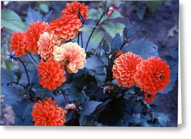 Shades Of Red Greeting Cards - Red Dahlia Greeting Card by Stephen Proper Gredler