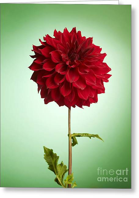Dahlias Greeting Cards - Red Dahlia Greeting Card by Tony Cordoza