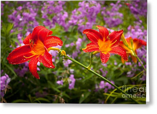 Purple Phlox Greeting Cards - Red Daylilies Greeting Card by Lena Auxier
