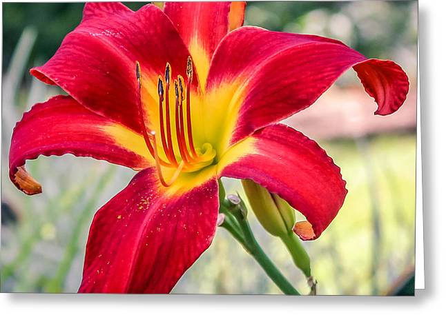 Day Lilly Digital Greeting Cards - Red Daylily Greeting Card by Rob Sellers