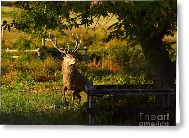 Mating Season Greeting Cards - Red Deer Stag Greeting Card by Louise Heusinkveld