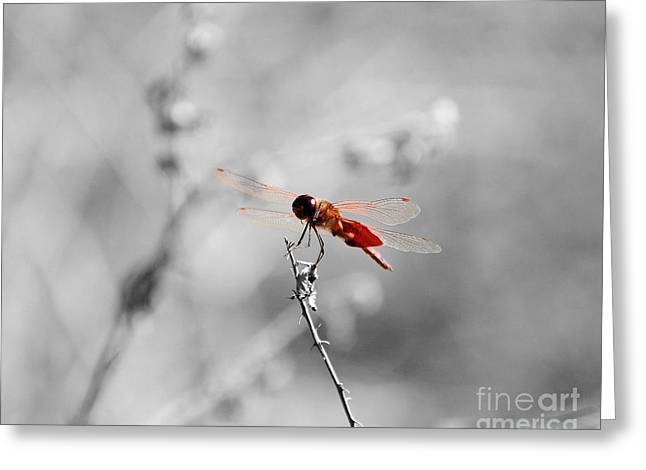 Outdoor Photography Digital Greeting Cards - Red Dragon - Selective Color Greeting Card by Al Powell Photography USA