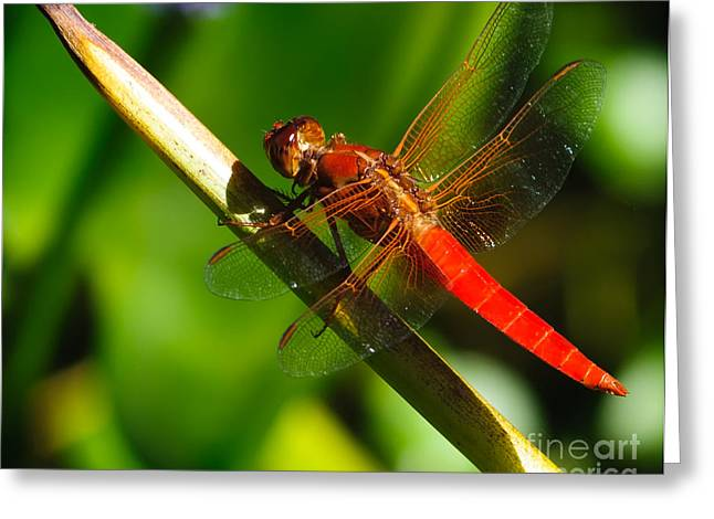 Dragonfly Picture Greeting Cards - Red Dragonfly Greeting Card by Charles Dobbs